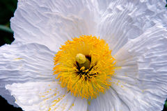 White Poppy Flower Stock Image