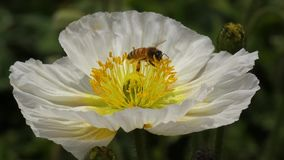 A white Poppy flower with bee Royalty Free Stock Images