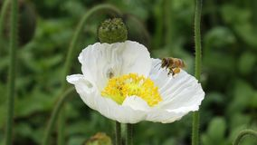A white Poppy flower with bee Royalty Free Stock Photos