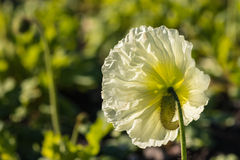 White poppy flower in bloom Stock Images