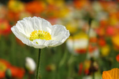 A white Poppy flower. In the field Stock Images