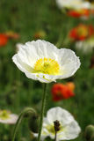 A white Poppy flower Stock Image