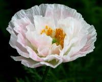 White poppy flower. In garden close-up stock photos