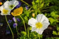 White Poppy Stock Image