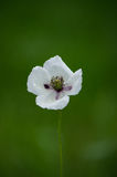 White poppy flower. On a green background Stock Photography