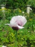White poppy. Flower, plants, garden royalty free stock photography