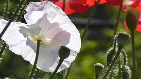 White poppy on a green background. Close-up of poppies on a sunny day. Close-up of poppies on a sunny day. Red, white poppy on a green background.Beautiful stock video footage