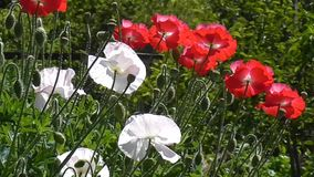 White poppy on a green background. Close-up of poppies on a sunny day. Close-up of poppies on a sunny day. Red, white poppy on a green background.Beautiful stock video