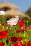 White poppy on green field closeup Stock Photos