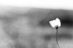 White poppy. Lonely white poppy in the field Stock Photos