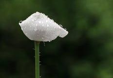 White poppy in rain Stock Photography