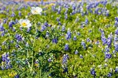 White Poppy Wildflowers Stock Photos