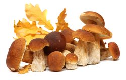 White porcini. Wild Foraged Mushroom selection isolated on background, with shadow. Boletus Edulis mushrooms Stock Image