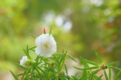 White  portulaca flower Stock Photo