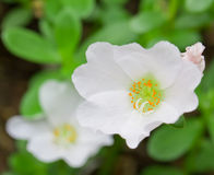 White Portulaca Flowers Stock Image