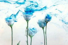 Flower water blue background white inside under paints acrylic rose smoke streaks. White poses inside in water on a white background. Flowers is under the water Royalty Free Stock Photos