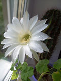 White pot cactus flower, golden torch. Pot cactus flower, white golden torch Royalty Free Stock Photo