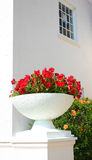White pot with flowers. White pot filled with red petunias next to orange hibiscus plant stock images