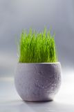 White pot with grass Stock Images