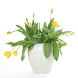 White pot with yellow tulips. Against white background royalty free stock photography