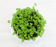 White pot with young basil Stock Photo