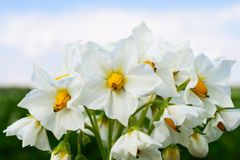 White potato flower. Royalty Free Stock Photography