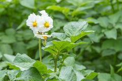 White  Potato flowers on a field Royalty Free Stock Image