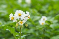 White  Potato flowers on a field Royalty Free Stock Photo