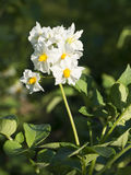 White potato flowers Stock Images