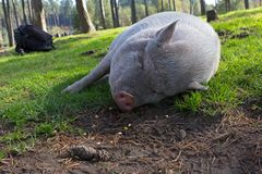 White potbellied pig in wildlife park Royalty Free Stock Photos