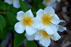 White Potentilla flowers close up Stock Image