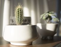 White Potted Cactus Plant in Closeup Photo Royalty Free Stock Photos