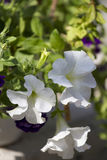 White potted plants. Delicate white petunia flowers close-up room Royalty Free Stock Photo