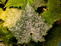 White powdery mildew on cucumber plant. Photo shows a top view of a cucumber leaf with white powdery mildew royalty free stock photos