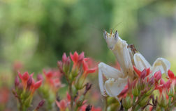 White praying mantis on flower Royalty Free Stock Images
