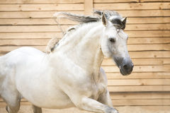 White PRE horse runs gallop in the manege Royalty Free Stock Photos