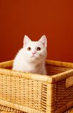 White Pretty Cat Royalty Free Stock Photography
