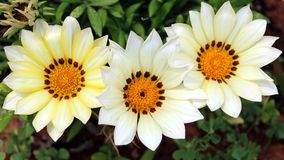 White Pretty Gazania Daisy Tropical Flowers Stock Image