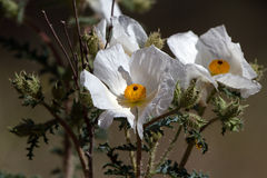 White Prickly Poppy, Argemone albiflora Stock Photos