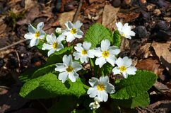 Free White Primerose Flowers On Forest Floor Stock Photography - 169747642