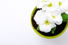 White primrose. White primrose on white. Selective focus Royalty Free Stock Image