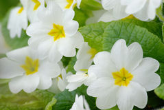 White primrose 2 Royalty Free Stock Photo