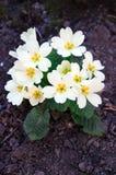 White primrose Stock Photo