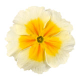 White Primrose Flower with Yellow Center Isolated Royalty Free Stock Images