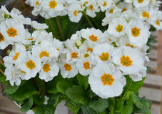 White primrose-spring flowers. White primrose- first spring flowers for planting stock images