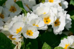 White primroses. Close up of white primroses in bloom Royalty Free Stock Photo