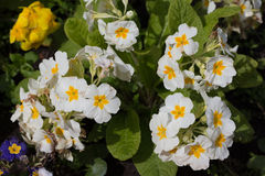 White Primroses Stock Photo
