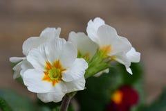 White primroses up close. Close up of white primroses in bloom Stock Photos