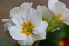 White primroses up close. Close up of white primroses in bloom Stock Photo