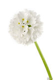 White primula Stock Photo